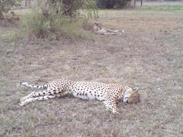 Cheetah at Emdoneni Cat Rehabilitation centre on our Tour