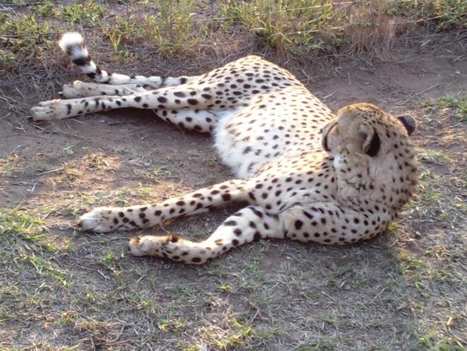 Cheetah at Emdoneni Cat rehabilitation center during our 5 Day Safari Tour