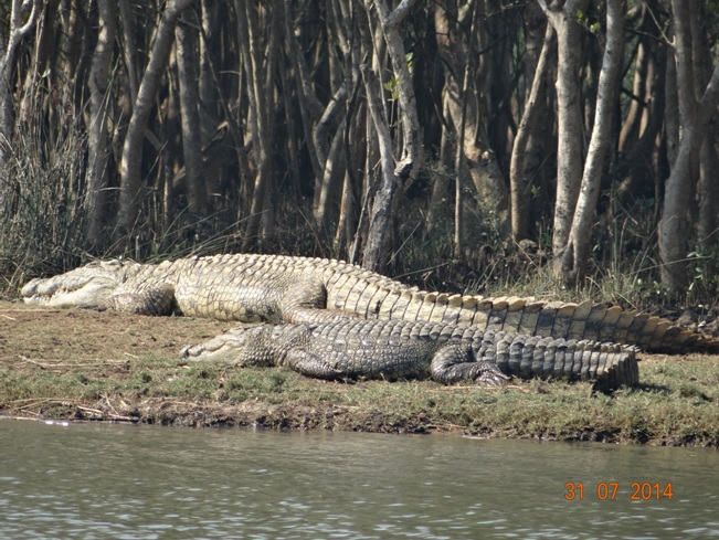 Crocodile at St Lucia Estuary Isimangeliso Wetland park during our Big 5 Safari Tour from Durban