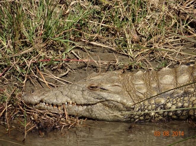 Crocodile on our Durban Safaris Tour at St Lucia Estuary