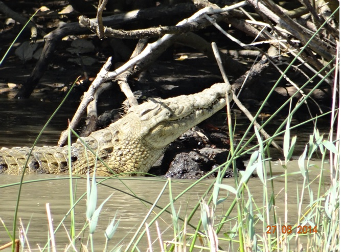 Crocodile seen at St Lucia in the Estuary during a 3 day safari tour from Durban