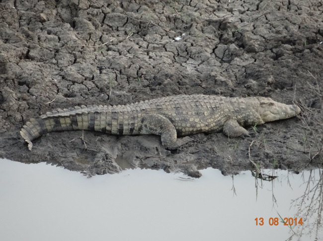 Crocodile seen on our Durban Safari to Hluhluwe Imfolozi game reserve