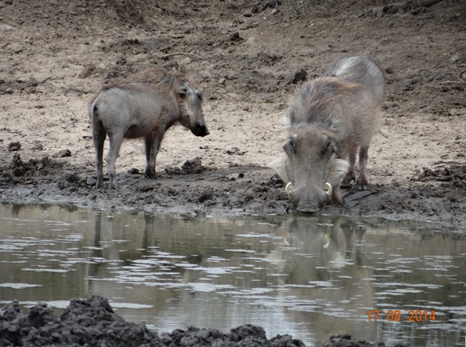 Durban Big 5 Day Safari, picture of Warthogs at the waterhole
