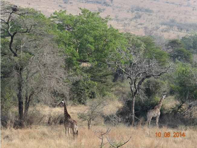 Durban Day Safari watching Giraffe and a White backed Vulture on a nest