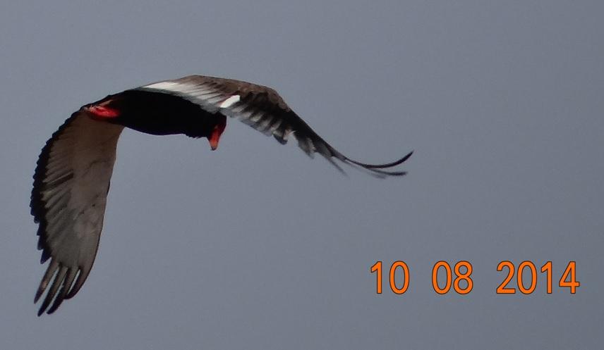 Durban Day Safaris at Hluhluwe Imfolozi watching a Bataleur Eagle in flight