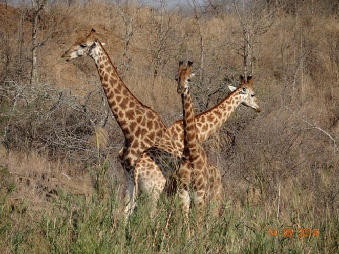 Durban Safari Tour to Hluhluwe Imfolozi game reserve. Giraffe males pose for us