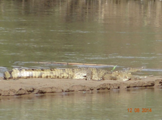 Durban Safaris and Tours we spotted this baby crocodile in the Umfolozi river