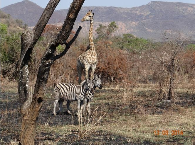 Durban Safaris. Giraffe and Zebra pose in Hluhluwe Imfolozi game reserve