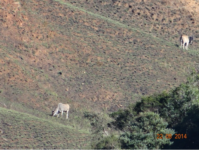 Eland seen on our Drakensberg hike up to the Bushman paintings on our Durban 5 Day Safari Tour