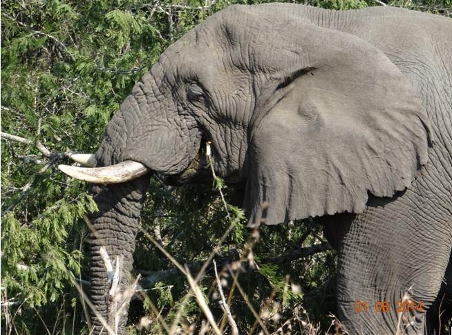 Elephant Bull at near Nyalazi gate in Umfolozi on our Safari from Durban