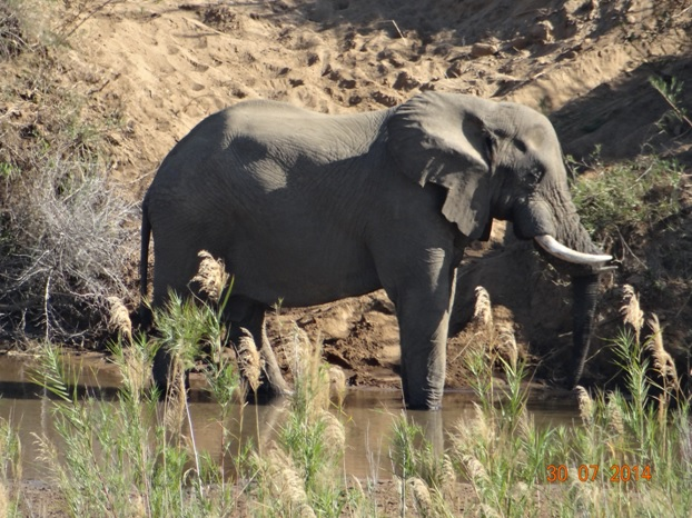 Elephant Bull in the Black Umfolozi river resting his trunk of his tusk on our Durban Overnight Safari