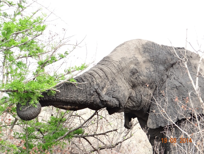 Elephant bull feeds off the fresh shoot of an Acacia during our Durban 5 day Safari Tour