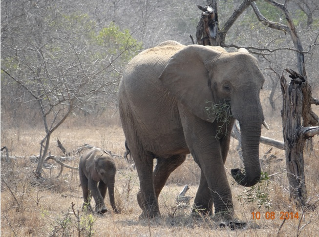 Elephant cow with her new born baby on our Durban Day Safari
