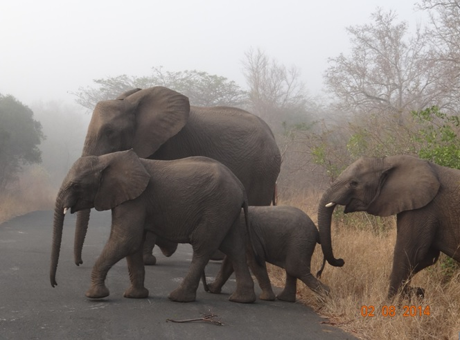 Elephant in the mist cross the road in front of our vehicle on our Durban Safari