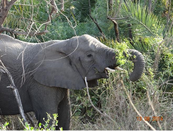 Elephant on our 1st Day of our 3 Day Durban Safari tour