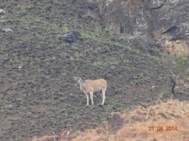 Female Eland on the Drakensberg mountain on our hike during our Durban Safari Tour