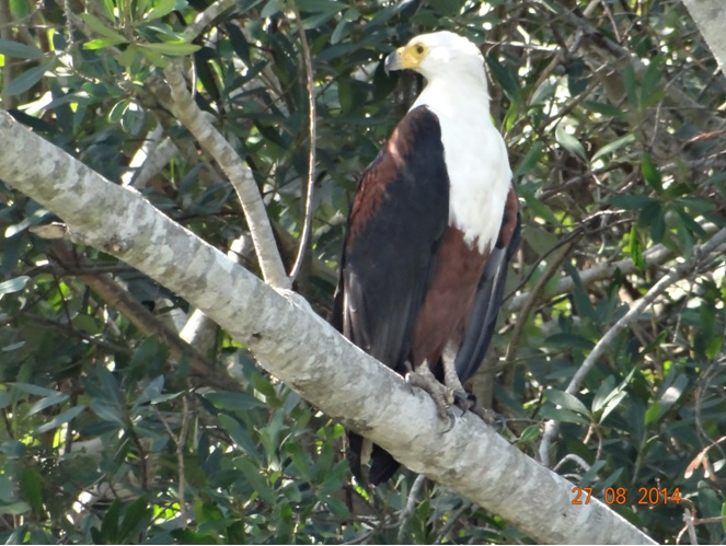 Fish Eagle on our St Lucia Hippo and Crocodile boat Tour at St Lucia Isimangeliso Wetland Park