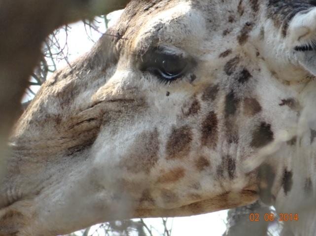 Giraffe Cries with tears streaming down his face on our Durban Big 5 Safari