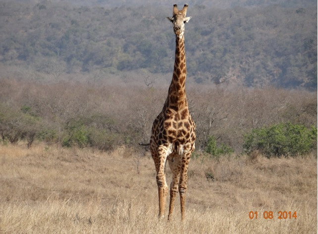 Giraffe gazes at us on the first day of our Hluhluwe Imfolozi Safari