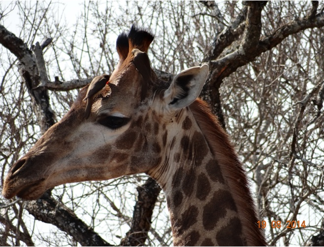 Giraffe seen on our second Day in Hluhluwe Imfolozi game reserve on our Durban Safari Tour