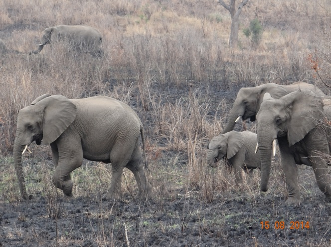 Herd of Elephant near the road on our Durban Safaris 3 Day Safari Tour of Hluhluwe Imfolozi game reserve