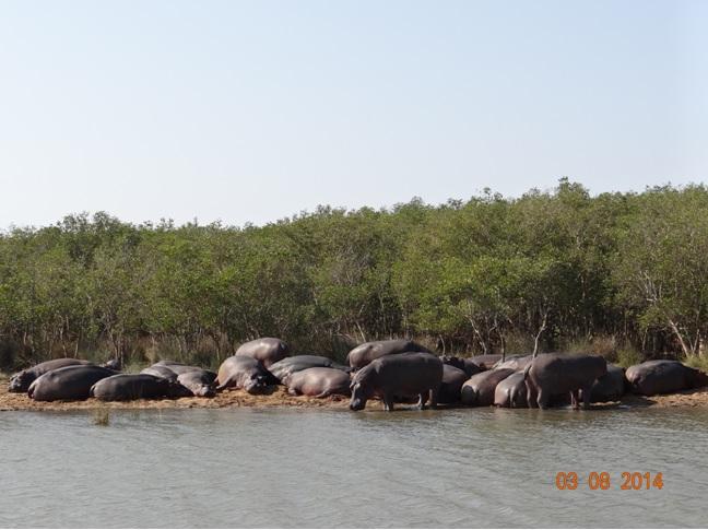 Large pod of Hippos at St Lucia estuary Isimangeliso Wetland park in KwaZulu Natal