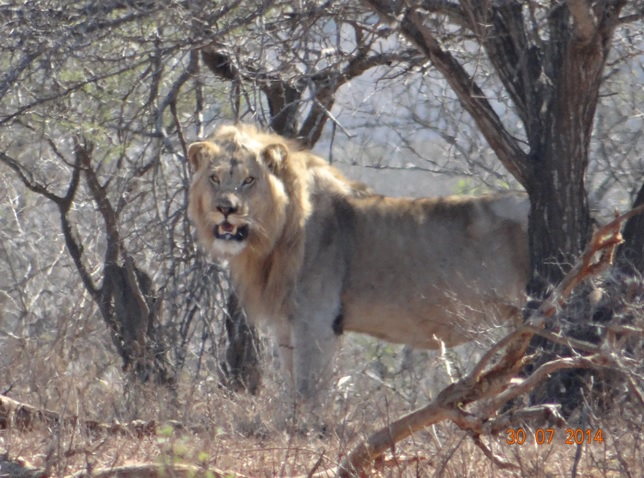 Lion found today on our Durban Safari Tour at Hluhluwe Imfolozi game reserve