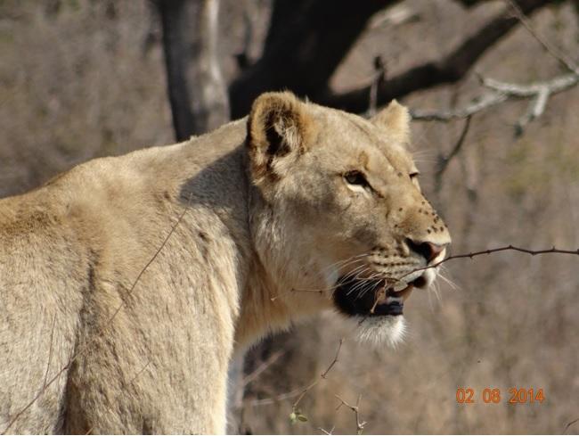 Lioness on our Durban Big 5 Safari