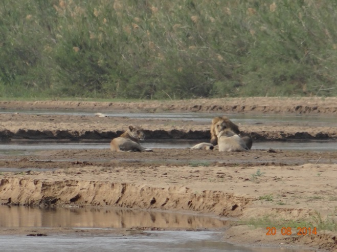 Lions on Day 3 of our Durban 5 Day Safari Tour in Hluhluwe Imfolozi game reserve