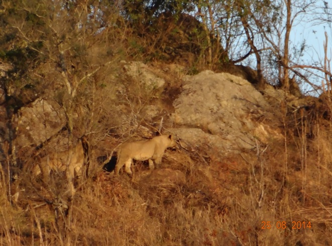 Lions seen on Day 1 of our Big 5 Durban Safari in Hluhluwe Imfolozi game reserve