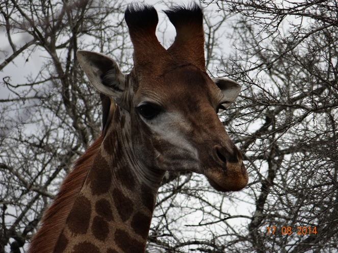 Male Giraffe in Hluhluwe Imfolozi game reserve on our Durban Day Safari Tour
