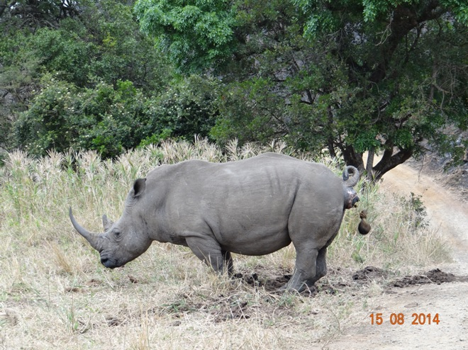 Male White Rhino marks his teritory in Hluhluwe in our Durban Big 5 Safaris Tour