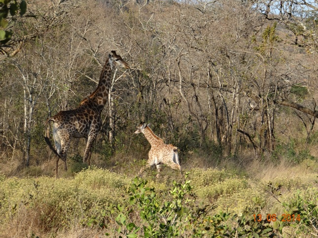 Mother Giraffe watches as baby runs around her during our Durban Safaris
