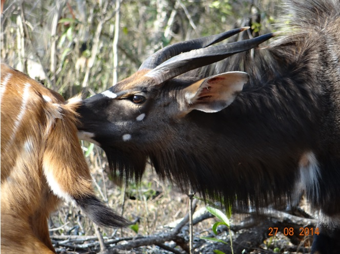 Nyala Bull tests a female to see if she is ready for mating during our Durban Safari to Big 5 Hluhluwe Imfolozi game reserve