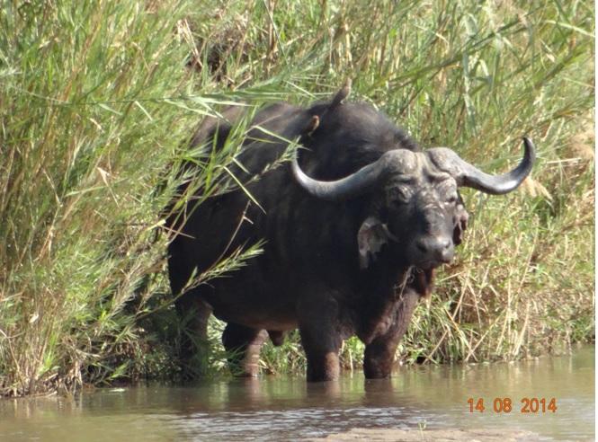 Old Buffalo bull in the Black Umfolozi river on our Durban Big 5 Safari