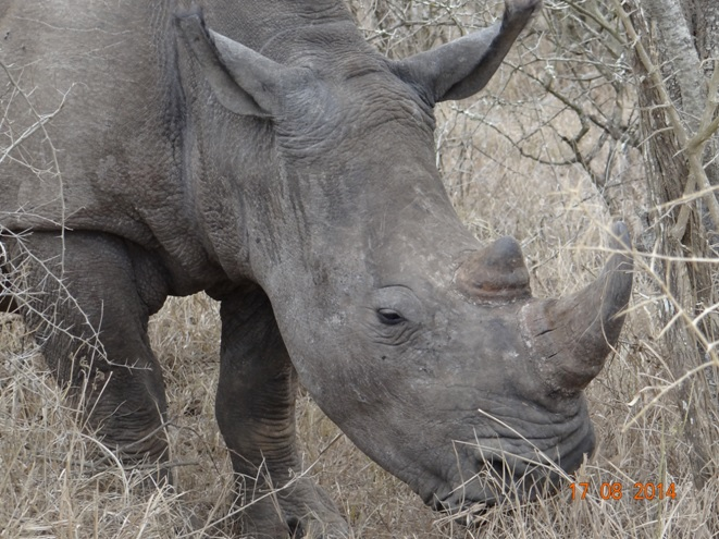 One of many Hluhluwe Imfolozi game reserves White Rhinos