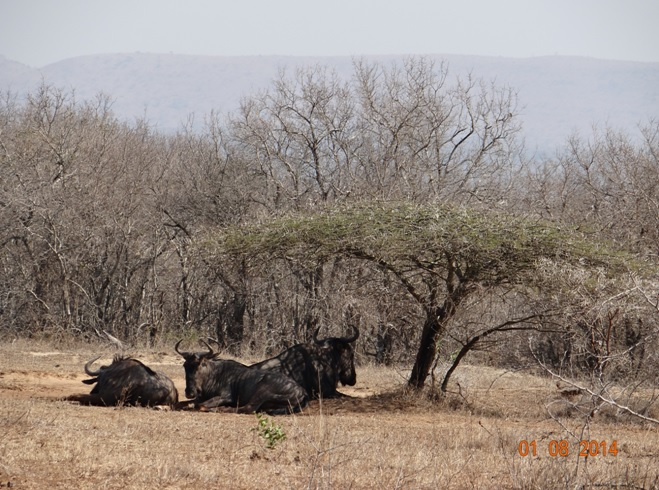 Picture of Wildebeest resting under an Acacia tree during Day 1 of our Trip from Durban
