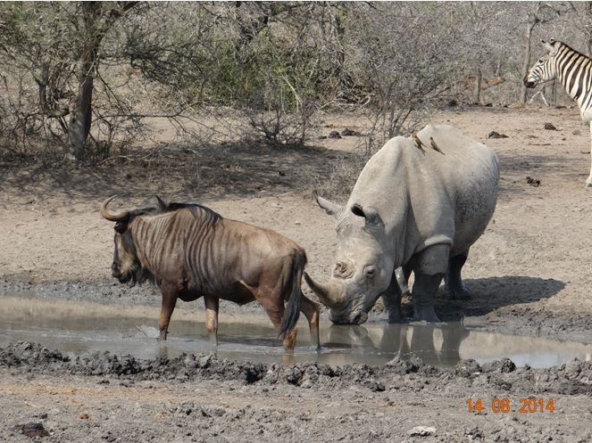 Rhino drinks at Bhejane hide with Zebra and wildebeest close by during our Durban Safaris 3 day Big 5 Safari