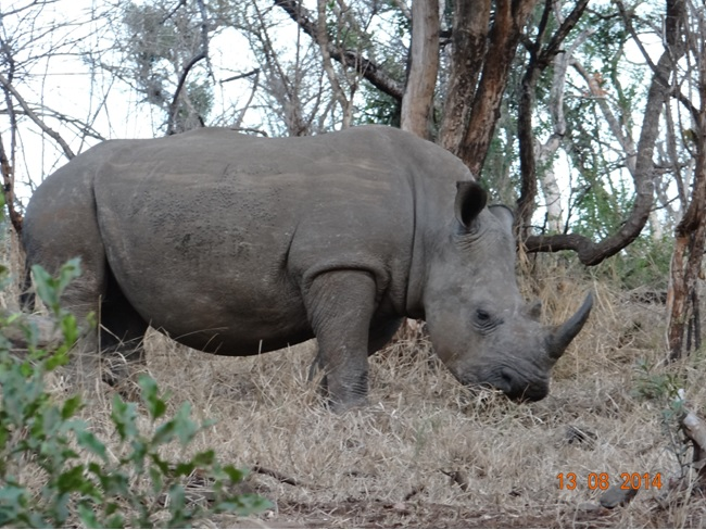 Rhino feeds on Day 1 during our Durban Safari Tour in Hluhluwe Imfolozi game reserve