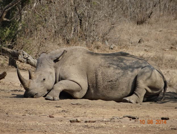 Rhino rests with her calf behind her on our Durban Day Safari