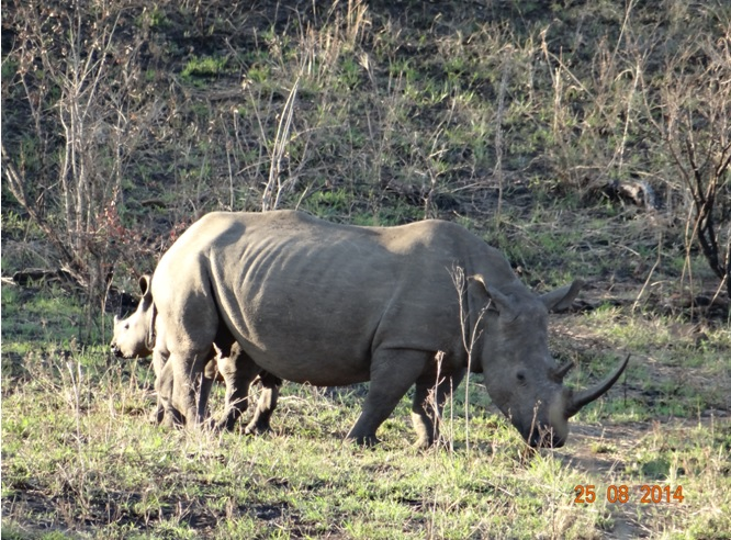 Rhino with her calf seen in Hluhluwe Imfolozi game reserve on our Durban Big 5 Safari Tour