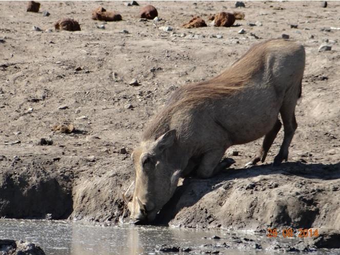 Warthog drinking during our Big 5 Durban Safari in Hluhluwe Imfolozi game reserve