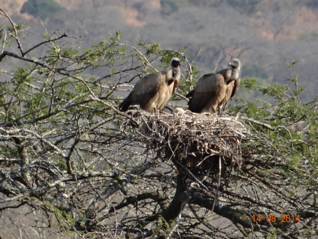 White Backed Vultures with young chick in the nest on our Big 5 Safari from Durban for 3 Days in Hluhluwe Imfolozi game reserve