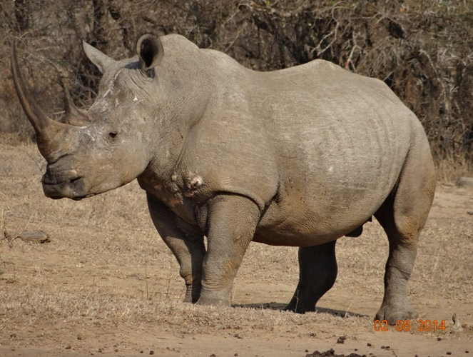 White Rhino Bull jumps to attention as he hears something that unsettles him during a Safari Tour from Durban