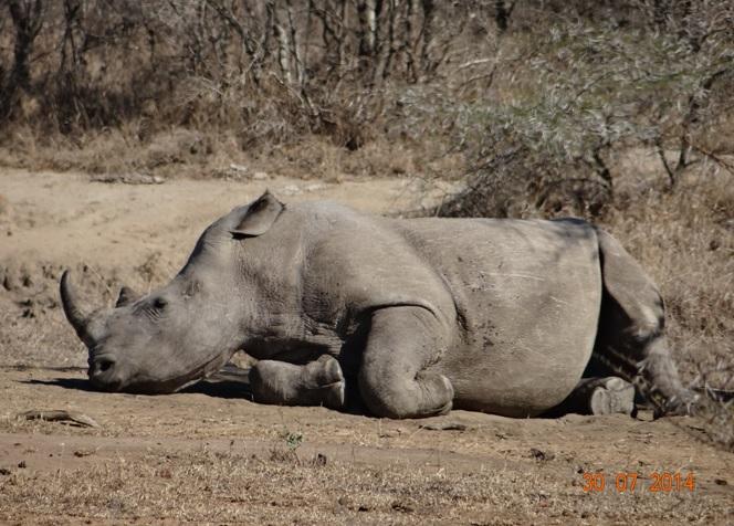 White Rhino rests on our Durban Safari from Durban
