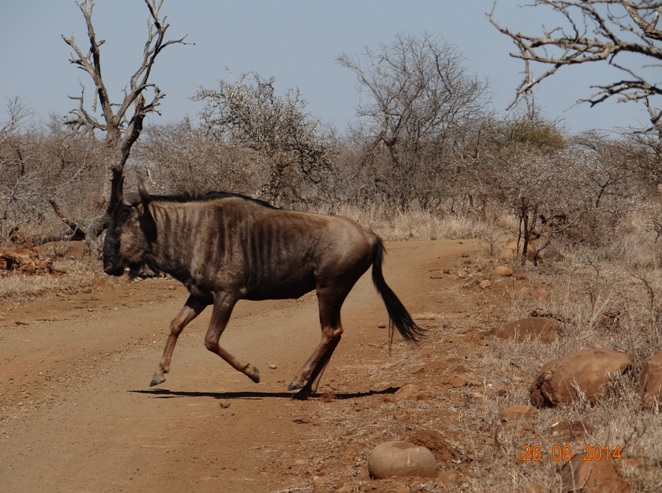 Wildebeest crossing the road on our Big 5 Durban Safari Tour
