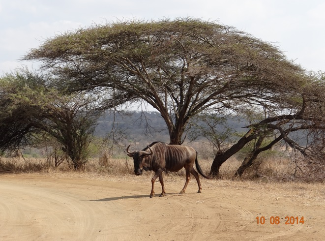 Wildebeest or Gnu crosses the road on our Durban Day Safari