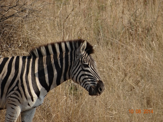 Zebras in Hluhluwe Imfolozi game reserve on our Durban Day safari