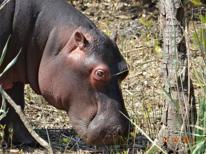 Baby Hippo feeds on the Estuary bank at St Lucia Estuary on Day 3 of our 3 day honeymoon Durban Safari Tour