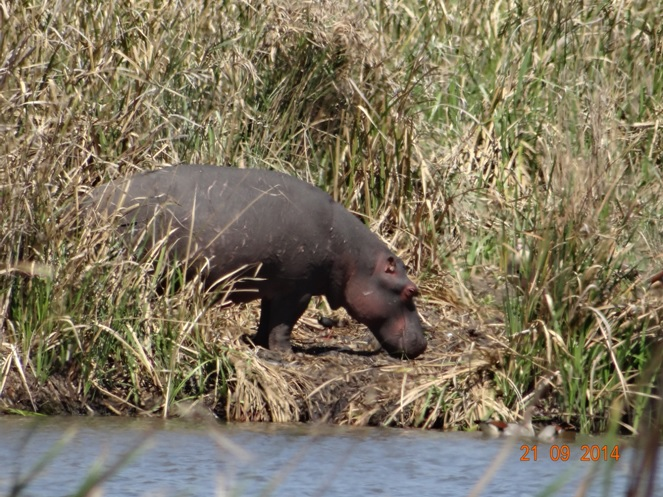 Baby Hippo seen on our Safari near Durban to Tala game reserve, Valley of 1000 Hills and Zulu Cultural Village